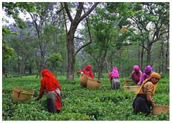 palampur tea garden tour