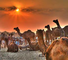 Rajasthan Exclusive With Pushkar